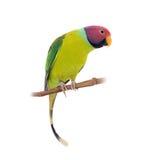 Мужчина слив-голового длиннохвостого попугая на белизне Стоковое фото RF