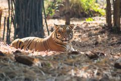 Мужчина тигра Бенгалии стоковая фотография