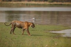 Мужчина тигра Стоковое Фото