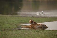 Мужчина тигра Стоковая Фотография RF