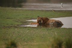 Мужчина тигра Стоковые Фотографии RF