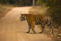 Мужчина Тигра Тигра Mahaman пантеры тигра, запас тигра Bandhavgarh, Madhya Pradesh, Индия стоковое фото rf