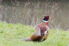1583 мужчина фазана, colchicus фазана, стоя Стоковая Фотография RF