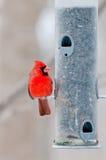 мужчина фидера птицы кардинальный сидит Стоковая Фотография