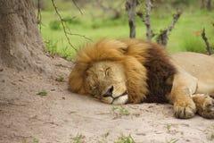 Мужчина льва в Африке стоковые фотографии rf