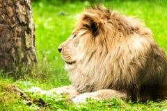 Мужчина льва panthera leo Стоковые Изображения RF