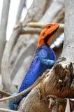 мужчина ящерицы агамы Стоковое Изображение RF
