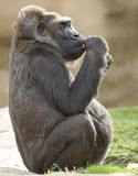 мужчина 2 низменностей африканской гориллы ювенильный западный Стоковые Фотографии RF