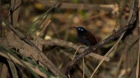 Мужчина Antbird ` s Zeledon на ветви Стоковые Изображения RF