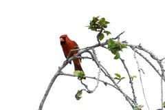 мужчина cardinal ветви Стоковые Фото