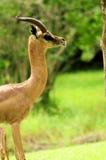 мужчина gerenuk антилопы Стоковые Фото