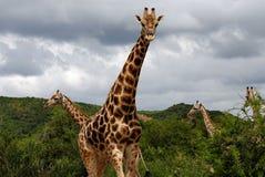 мужчина giraffe Стоковое Фото