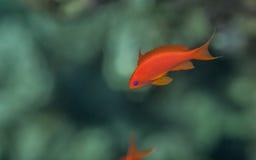 Мужчина goldie моря Стоковая Фотография RF