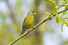 мужчина greenfinch ветви Стоковое Изображение