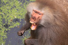 мужчина hamadryas павиана показывая зубы Стоковая Фотография RF