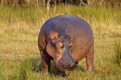 мужчина hippopotamus стоковое изображение rf
