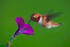 мужчина hummingbird rufous стоковые изображения rf