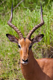 мужчина impala Стоковые Изображения RF