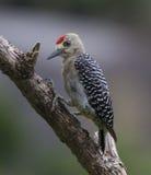 Мужчина Woodpecker Hoffman Стоковые Изображения