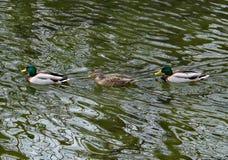 2 мужчины и утки кряквы женщины плавая Стоковые Фотографии RF