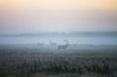 2 мужчины красного оленя и нескольк лань идут вокруг поля внутри Стоковая Фотография