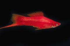 Мужчины красного цвета Swordtail в темноте Стоковые Изображения RF