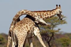 мужчины giraffe бой Стоковая Фотография