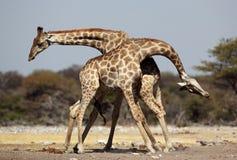 мужчины giraffe бой Стоковая Фотография RF