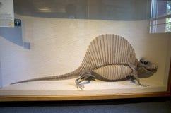 Музей Гарвард скелетов динозавра естественной истории стоковая фотография