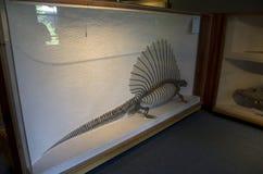 Музей Гарвард скелетов динозавра естественной истории стоковое изображение