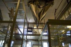Музей Гарвард скелетов динозавра естественной истории стоковое изображение rf
