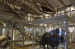 Музей Гарвард скелетов динозавра естественной истории стоковое фото