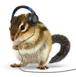Музыка смешного животного Сибирского бурундука слушая на наушниках, на белизне Стоковое фото RF