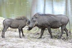 Мумия и малыш Warthog Стоковая Фотография