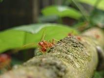 муравеев Стоковая Фотография RF