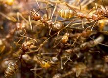 муравеи горят красный цвет стоковое фото