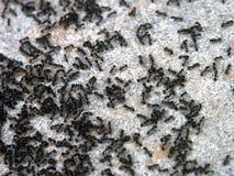 муравеи Стоковые Изображения