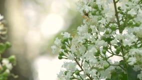 Муравей вползает на цветке Миртл Crepe, 4K акции видеоматериалы