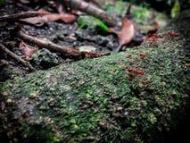 Муравей в древесине Стоковое Изображение