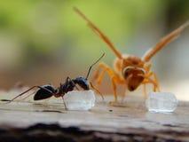 Муравей есть сахар и желтую пчелу наблюдая его Стоковое фото RF