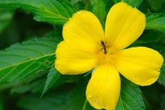 Муравей ища еды на свежем желтом цветке в саде стоковые изображения