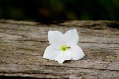 Муравей и белый цветок Стоковое Изображение