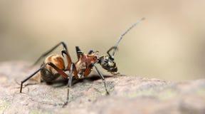 Муравей, красный муравей Стоковые Изображения