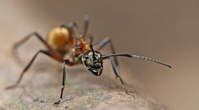 Муравей, красный муравей Стоковые Фото