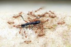 Муравей, красный муравей Стоковое Фото