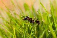 Муравей макроса в траве с росой Стоковая Фотография RF