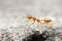 муравей макроса конца-вверх красный на каменной предпосылке Стоковое Изображение