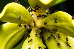 муравей макроса на цветке Стоковое фото RF