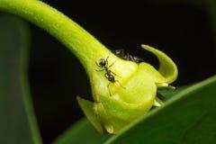 муравей макроса на цветке Стоковые Изображения RF