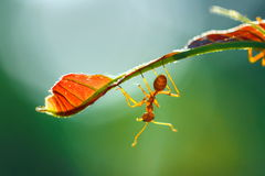 Муравей, насекомое, муравей на лист Стоковые Фотографии RF